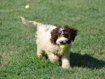 Lagotto Romagnolo puppies for sale