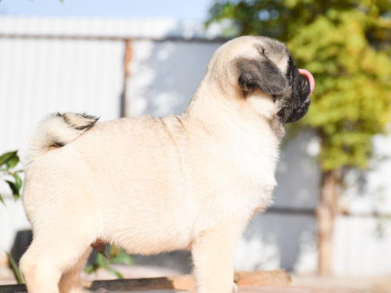 Mops Puppy / Pug Puppy