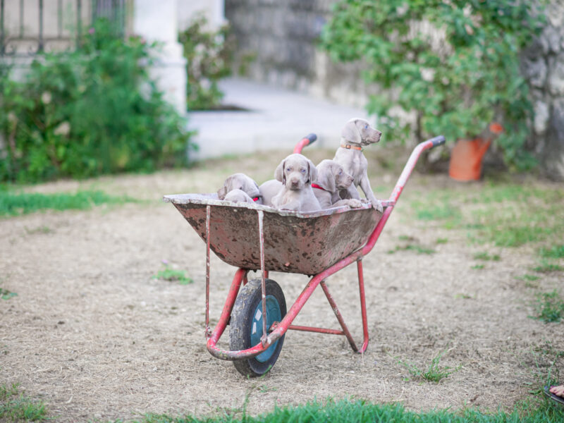 Weimaraner puppies
