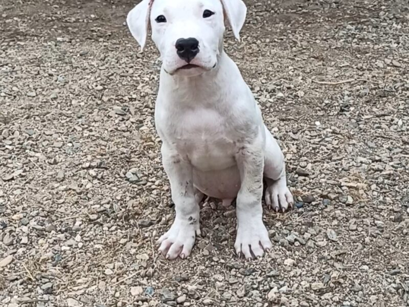 Dogo Argentino of Ristic