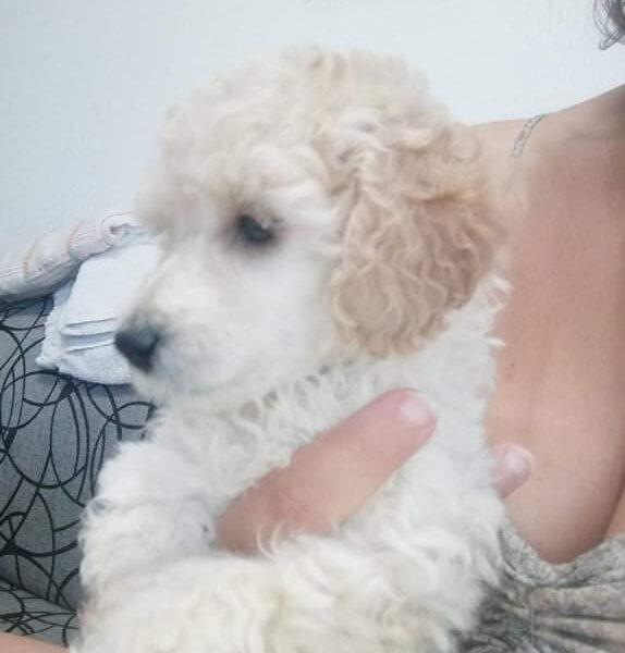 Dwarf Poodle Puppy for Sale