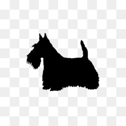 Wanted SCOTTISH TERRIER Puppy