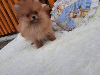 Sale of Pomeranian spitz Boo