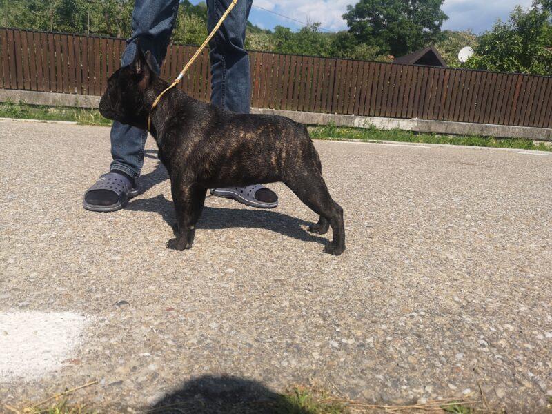 French bulldog female, 9 months