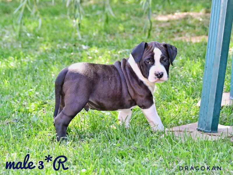 Pure breed registered American Staffordshire Terrier puppies