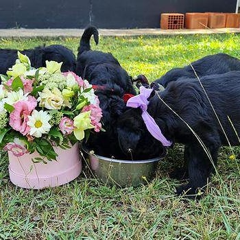 Dogs for life Russian Black Terrier