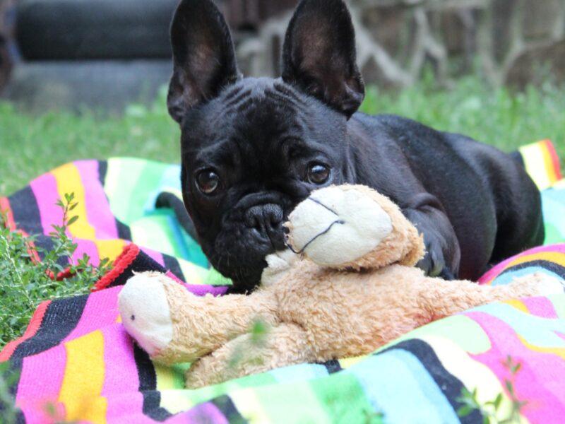 French bulldog girl, 5 months old
