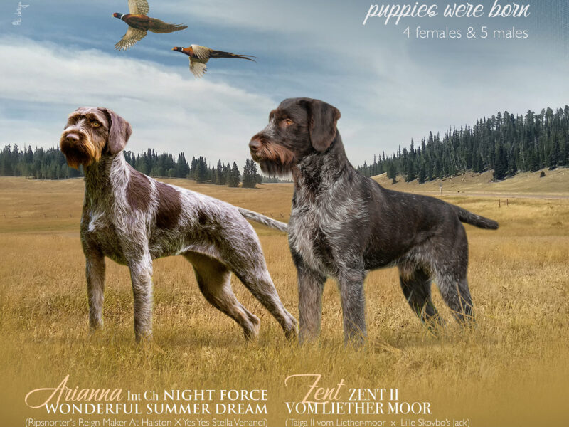 Fantastic litter, a long-awaited and desired combination GERMAN WIRE- HAIRED POINTING DOG (DEUTSCH DRAHTHAAR)