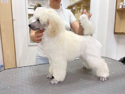 Puppy for sale Medium Poodle